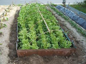 重箱石の家庭菜園20130518018