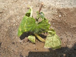 重箱石の家庭菜園20130518008