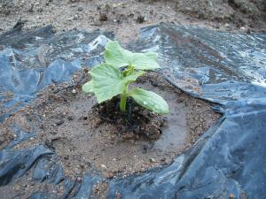 重箱石の家庭菜園20130518024