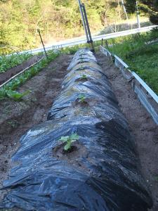 重箱石の家庭菜園20130518023