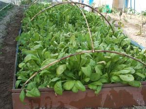 重箱石の家庭菜園20130518022