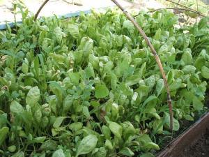 重箱石の家庭菜園20130518021