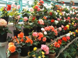 花と泉の公園。ベゴニア館2013-05-26-158