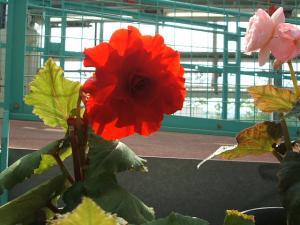 花と泉の公園。ベゴニア館2013-05-26-161