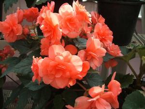 花と泉の公園。ベゴニア館2013-05-26-165
