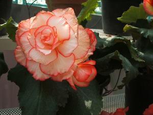 花と泉の公園。ベゴニア館2013-05-26-164