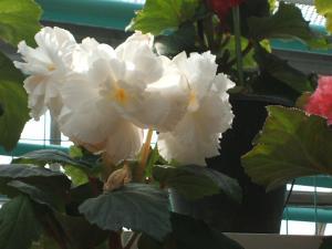 花と泉の公園。ベゴニア館2013-05-26-174