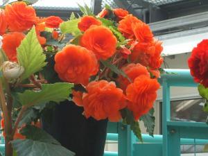 花と泉の公園。ベゴニア館2013-05-26-179