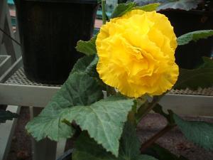 花泉町 花と泉の公園 ぼたん祭り ベゴニア館187