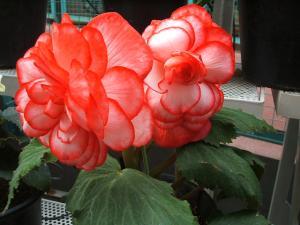花泉町 花と泉の公園 ぼたん祭り ベゴニア館185