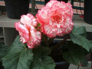 花泉町 花と泉の公園 ぼたん祭り ベゴニア館184