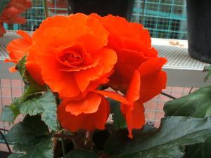 花泉町 花と泉の公園 ぼたん祭り ベゴニア館194