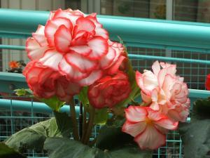 花泉町 花と泉の公園 ぼたん祭り ベゴニア館192