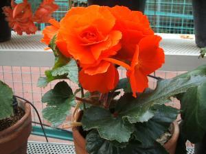花泉町 花と泉の公園 ぼたん祭り ベゴニア館190