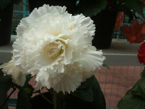 花泉町 花と泉の公園 ぼたん祭り ベゴニア館196