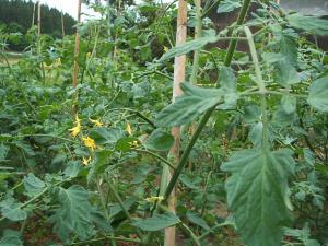 家庭菜園20130616005