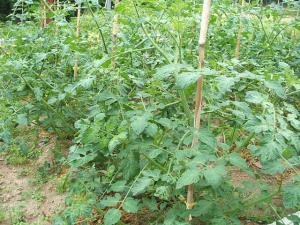 家庭菜園20130616003