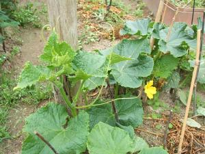 家庭菜園20130616009