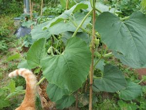 家庭菜園20130616017