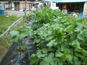 家庭菜園20130616021