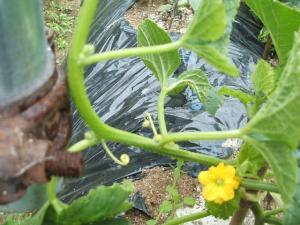 家庭菜園20130616022