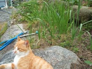 家庭菜園20130616032
