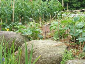 家庭菜園20130616034