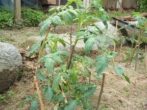 家庭菜園20130616042