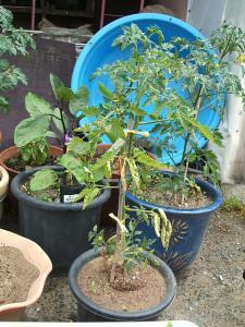 家庭菜園20130616056