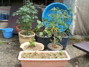 家庭菜園20130616054