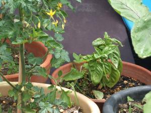 家庭菜園20130616058