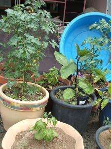 家庭菜園20130616057