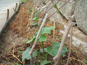 家庭菜園20130616063