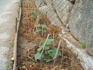 家庭菜園20130616062