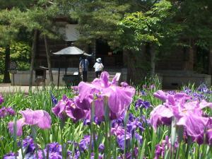 毛越寺あやめ祭り2013-06-22-044
