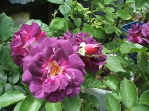 花巻薔薇園2013-06-23-045