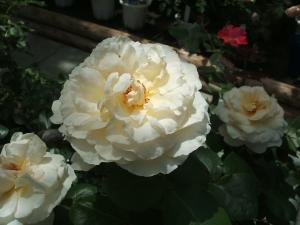 花巻薔薇園2013-06-23-044