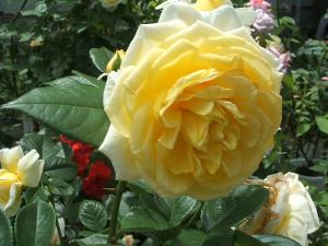 花巻薔薇園2013-06-23-043