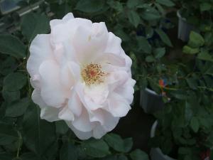 花巻薔薇園2013-06-23-041