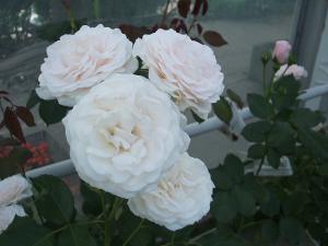 花巻薔薇園2013-06-23-052