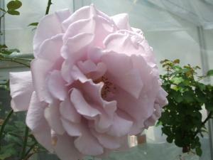 花巻薔薇園2013-06-23-047