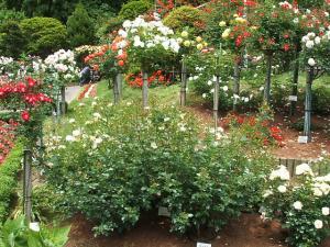 花巻薔薇園2013-06-23-055