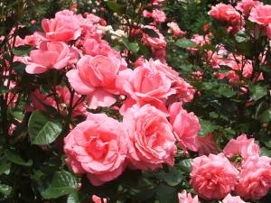 花巻薔薇園2013-06-23-059
