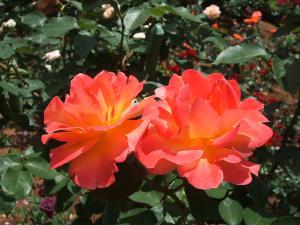 花巻薔薇園2013-06-23-065
