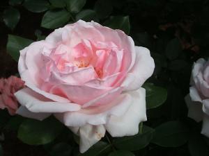 花巻薔薇園2013-06-23-062