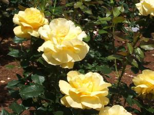 花巻薔薇園2013-06-23-063