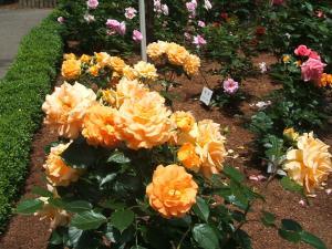 花巻薔薇園2013-06-23-060