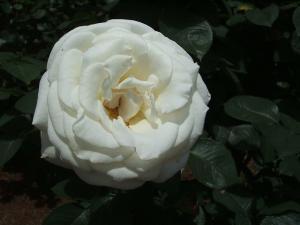 花巻薔薇園2013-06-23-071