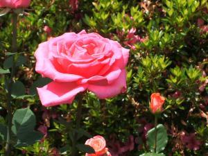 花巻薔薇園2013-06-23-072
