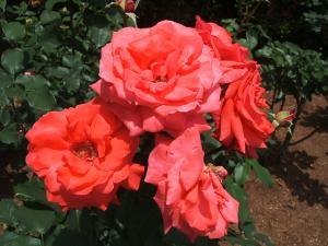 花巻薔薇園2013-06-23-070